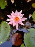 Lis d'eau rose Photo stock