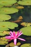 Lis d'eau rose Photographie stock