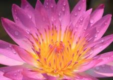 Lis d'eau rose Image stock