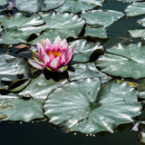 Lis d'eau rose Images libres de droits