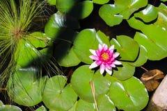 Lis d'eau rose Photographie stock libre de droits