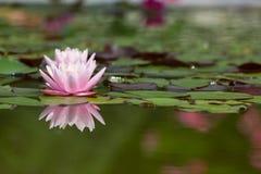 Lis d'eau rose Image libre de droits