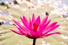 Lis d'eau rose Photos libres de droits