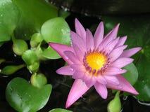 Lis d'eau rose Photo libre de droits