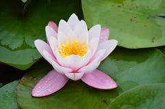 Lis d'eau rose images stock