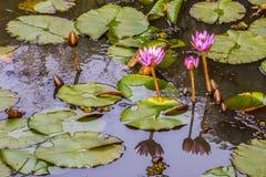 Lis d'eau roses dans un étang Images libres de droits