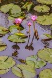 Lis d'eau roses dans un étang Image stock
