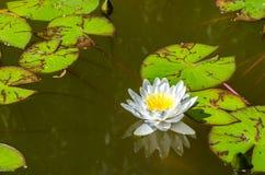 Lis d'eau sur l'étang Image libre de droits