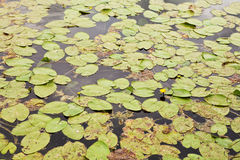 Lis d'eau sur la surface de lac image libre de droits