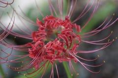 Lis de fantaisie d'araignée rouge - radiata de Lycoris Photographie stock