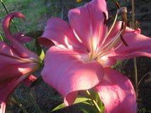 Lis de fleur Image libre de droits