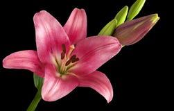 Lis de floraison Photos libres de droits
