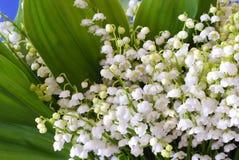 Lis de floraison de la vallée Images stock