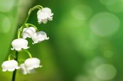 Lis de floraison de la vallée Photos libres de droits