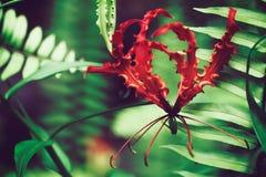 Lis de floraison de Gloriosa également connu sous le nom de lis de flamme, fleur exotique rouge sur les Maldives Image stock