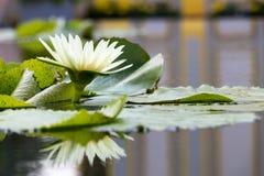 Lis de flowerswater de Lotus dans l'étang Photo stock