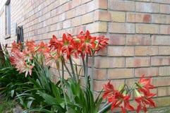 Lis de jardin contre un mur de briques Photographie stock libre de droits