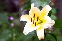 Lis de jaune de loseup de ¡ de Ð Photo stock