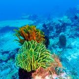 Lis de mer colorés sur le récif tropical de corail image libre de droits