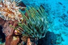 Lis de mer colorés sur le récif tropical de corail photo stock