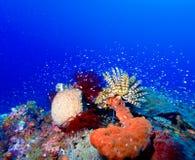 Lis de mer sur le récif tropical coloré photo stock