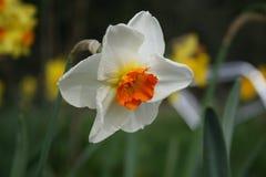 Lis de Pâques blanc et jaune dans le paaslelie de gele de gele d'en de fond naturel/esprit dans le weide Image stock