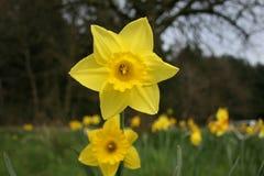 Lis de Pâques jaune dans le paaslelie de fond naturel/gele dans le weide Photographie stock