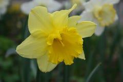 Lis de Pâques jaune dans le paaslelie de /gele de fond naturel dans le weide Images libres de droits
