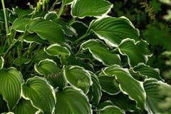 Lis de plantain Centrale de jardin Photos stock