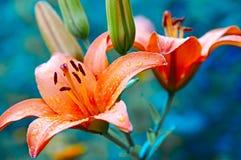 Lis de Rose Photos libres de droits