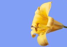 Lis de trompette jaune Images libres de droits