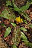 Lis de truite jaune Image libre de droits