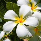 Lis et étoiles/fleurs de Frangipani Photographie stock libre de droits