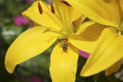 Lis et guêpe asiatiques jaunes Image libre de droits