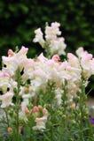 Lis-fleuri Photos libres de droits