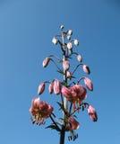 Lis fleuri (martagon de Lilium), le famille Liliacea Photographie stock libre de droits