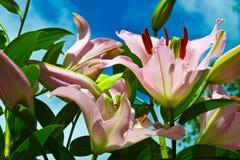Lis fleurissants Photographie stock libre de droits