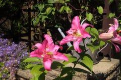 Lis fleurissants Photographie stock