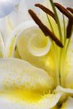 Lis jaune Photo stock