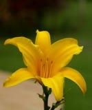 Lis jaune Photographie stock libre de droits