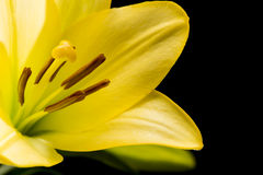 Lis jaune Image libre de droits