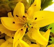 Lis jaune Image stock