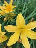 Lis jaune Photographie stock