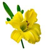 Lis jaune d'isolement Photographie stock