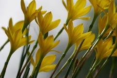 Lis jaune de pluie Photos libres de droits