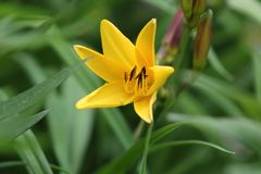 Lis jaune en pleine floraison Photo libre de droits