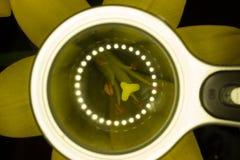 Lis jaune et fond noir Image libre de droits
