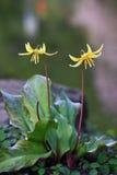 Lis jaune, repaire-canis d'erythronium photo libre de droits