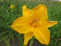 Lis jaune sur un fond des feuilles dans le parterre Photographie stock