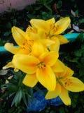 Lis jaunes Photos libres de droits